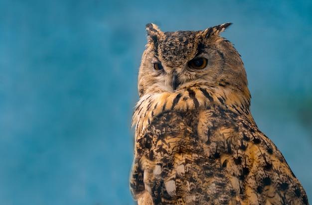 Beautiful eagle owl on blue