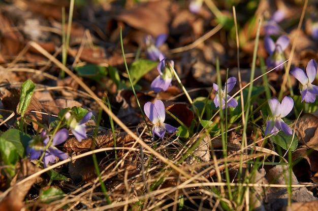 아름 다운 초기 보라색 꽃 또는 창백한 나무 바이올렛 비올라 odorata 꽃 봄, 얕은 피사계 심도, 매크로 촬영.