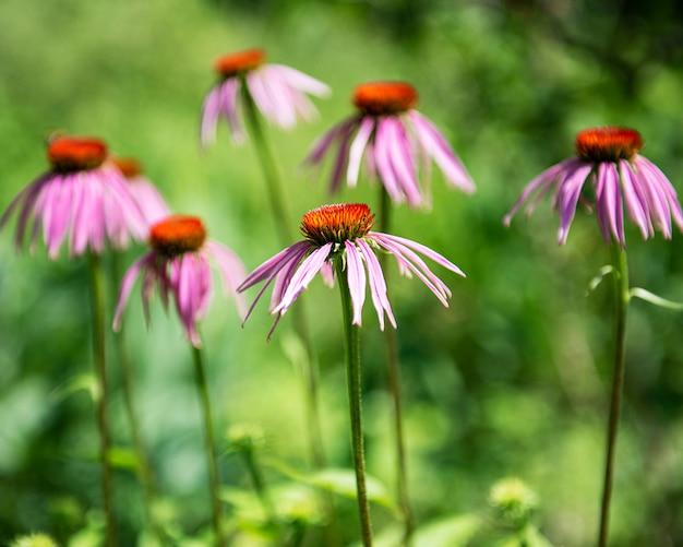 Красивый фиолетовый цветок эхинацеи в саду