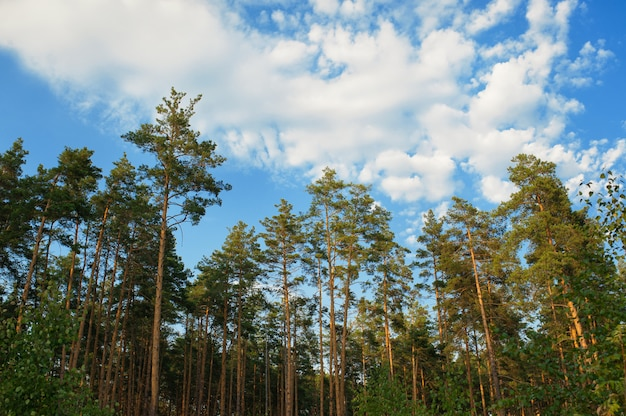 Beautiful edge of a pine forest and clouds