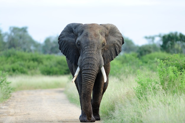 Beautiful elephant on a gravel pathway surrounded by green grass and trees