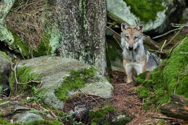 Bellissimo e sfuggente lupo eurasiatico nella colorata foresta estiva