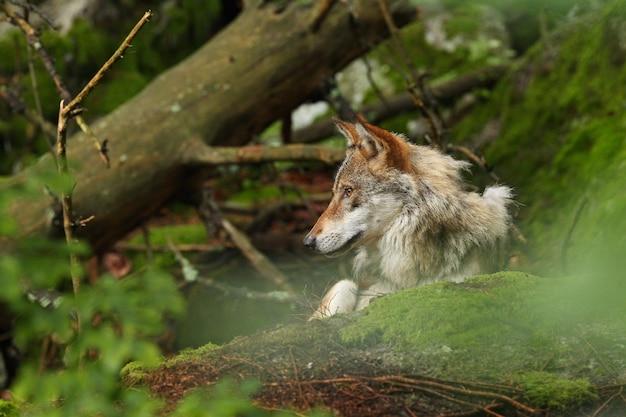 Lupo eurasiatico bello e sfuggente nell'estate colorata