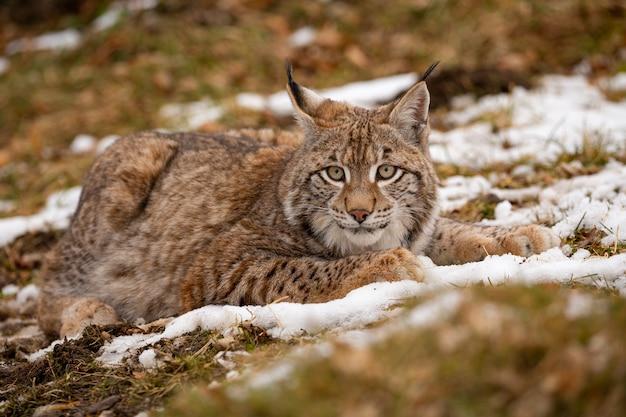 Lince eurasiatica bella e in via di estinzione nell'habitat naturale lynx lynx