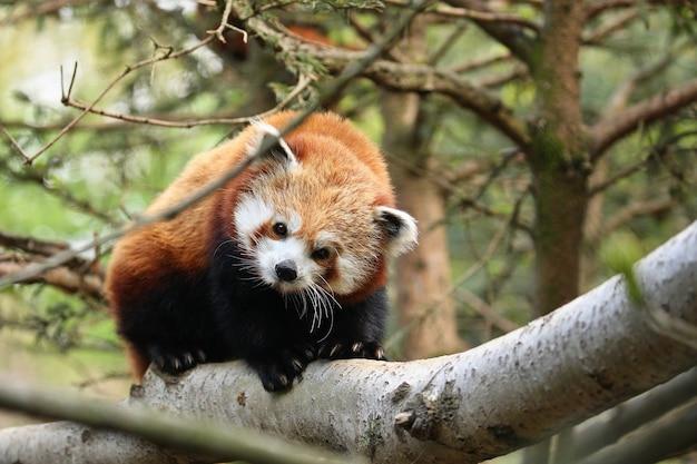 Beautiful endangered red panda on a green tree