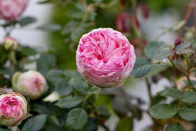 デビッドオースティンの美しいイングリッシュローズ。庭の夏。
