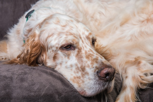 Beautiful english setter with brown spots resting sleeping