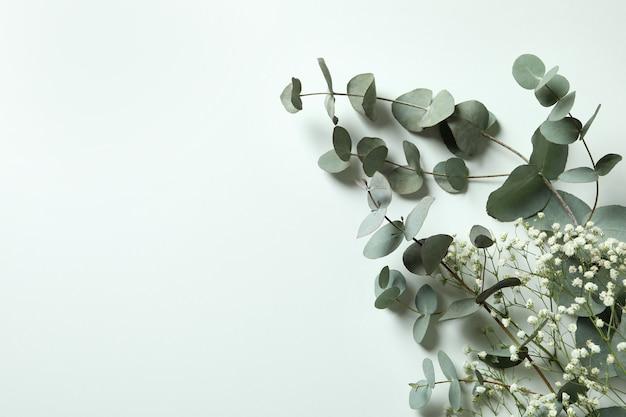 Beautiful eucalyptus and gypsophila on white background