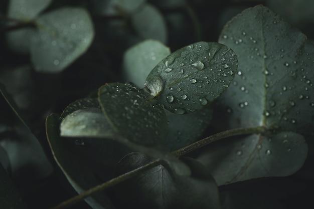 물 방울과 아름 다운 유칼립투스 잎을 닫습니다.