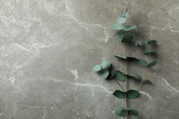 Beautiful eucalyptus plant branch on gray textured background