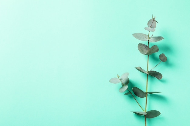 Beautiful eucalyptus plant twig on mint background