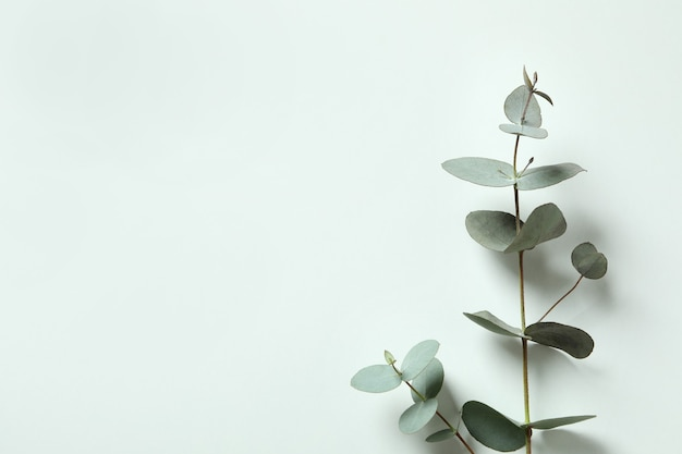 Beautiful eucalyptus plant twigs on white background