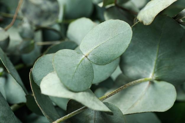 아름다운 유칼립투스 나뭇 가지와 잎, 클로즈업
