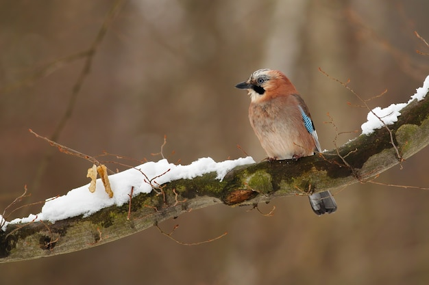 Beautiful eurasian jay sitting on the snow covered branch in forest.