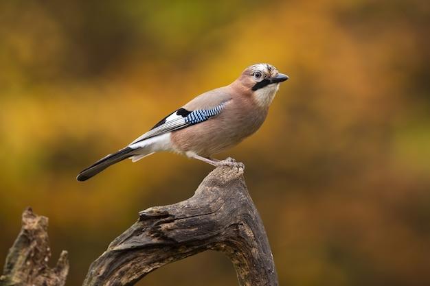 秋の風景にとまる色とりどりの羽を持つ美しいカケス