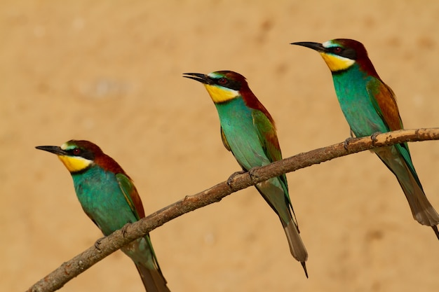 Beautiful european bee-eaters sitting on a tree branch