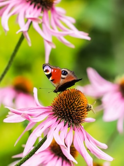 Beautiful european peacock butterfly inachis io aglais io and a bee on a purple echinacea