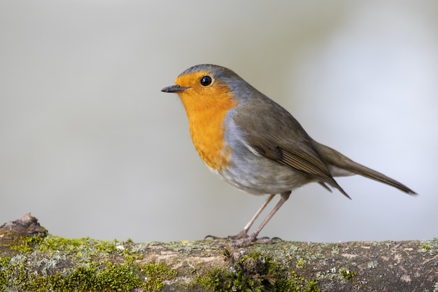 Beautiful european robin standing on a moss-covered branch of a tree
