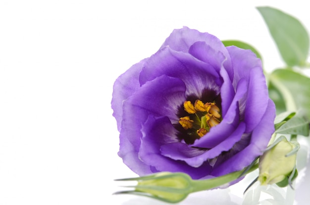 Beautiful eustoma flower on a bright background