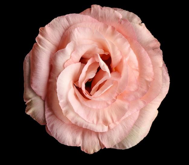 Красивый цветок эустомы на черном фоне