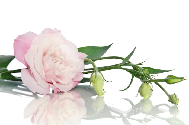 Beautiful eustoma flower with leafs and buds on white