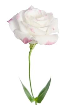 Beautiful eustoma flower