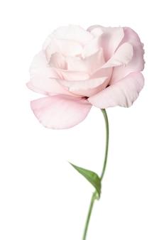 美しいトルコギキョウの花