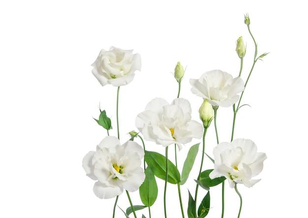 白い背景で隔離の美しいトルコギキョウの花