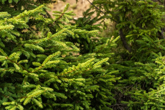 Beautiful evergreen pine trees