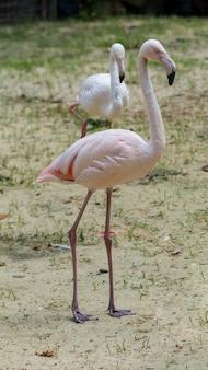 美しいエキゾチックなフラミンゴの肖像画。動物園のカリブ海またはアフリカのピンクの鳥のクローズアップ。