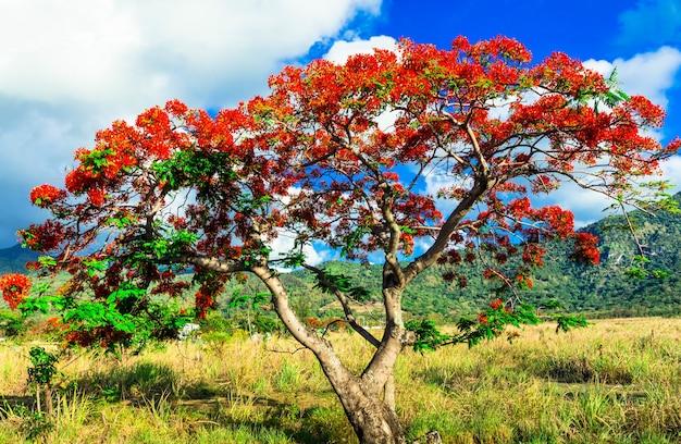 美しいエキゾチックな赤い花の木は「炎の木」と呼ばれます。モーリシャス島で12月に咲く
