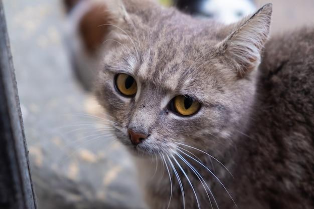 Красивое лицо серого кота крупным планом.