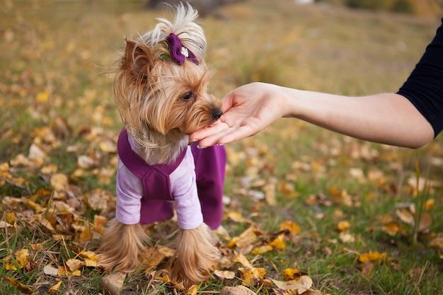 秋の散歩で服を着た美しいファッショナブルな小さな犬ヨークシャーテリア公園は手から御馳走を食べる