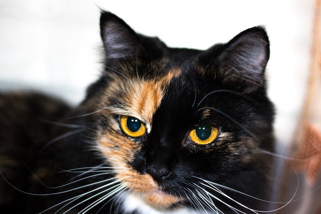 Beautiful feline cat at home. domestic animal.black cat portrait