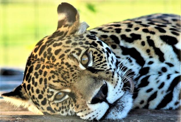 休んでいる美しい女性ジャガー