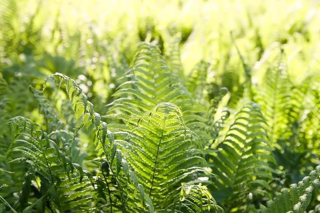 아름 다운 고사리 봄 공원에서 나뭇잎. 화창한 날에 녹색 단풍입니다. 햇빛에 자연 배경입니다.