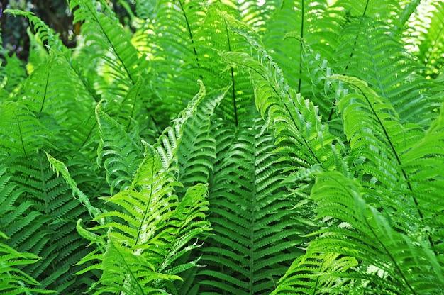 美しいシダは緑の葉の自然を残します。