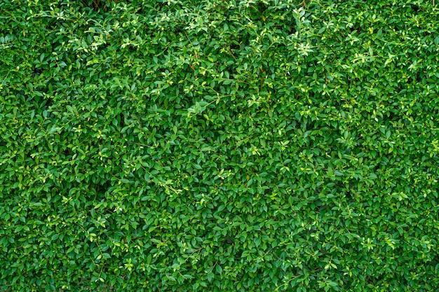 배경에 대 한 아름 다운 무화과 나무 annulata 벽입니다.