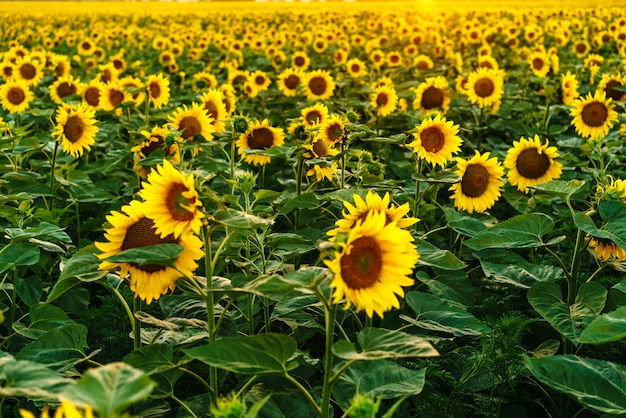 Beautiful field of blooming yellow sunflower flowers against the background of a summer sunset summe...