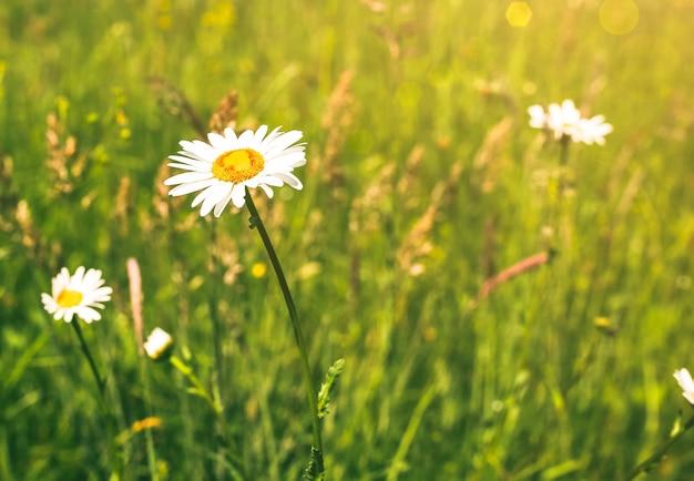 芝生の美しい野原カモミール。晴れた夏の日の自然。緑の芝生の花の背景。花の壁紙。