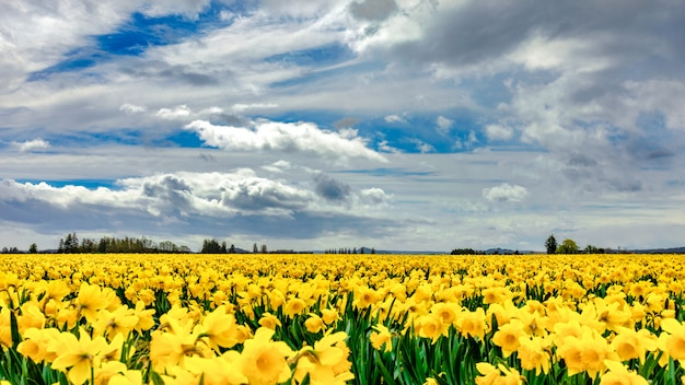 Beautiful field covered with yellow flowers with magnificent clouds in the sky in the