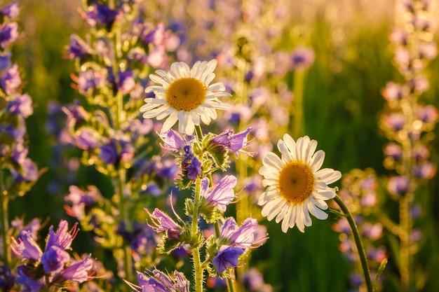 Красивые полевые ромашки на закате среди синих полевых цветов