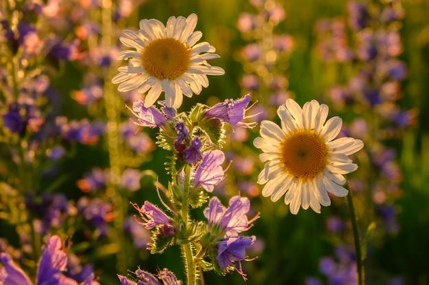 青い野花に囲まれた夕日の美しいフィールドデイジー