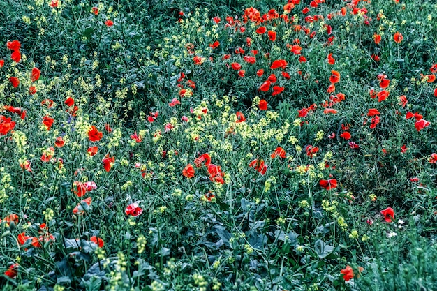 Beautiful field meadow red and yellow flowers in morning , nature landscape.