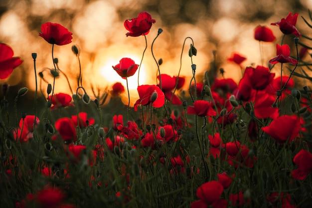 Красивое поле красных маков в свете заката. романтические красные цветы.