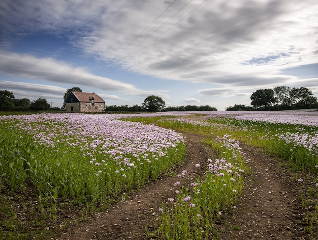 Beautiful field of pink poppies oxfordshire, uk and a farmhouse