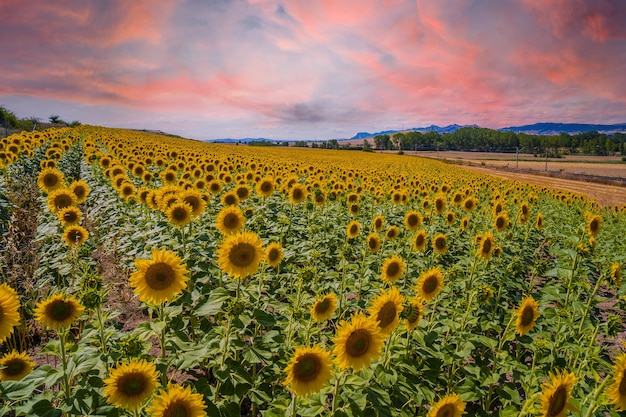 Beautiful field of sunflowers in a field of castilla y leon, spain in the summer sunset