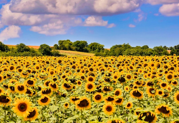 Beautiful field of sunflowers surrounded by green trees in the canary islands, spain