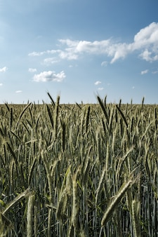 Beautiful field of tall rye with beautiful cloudy sky
