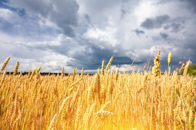 Beautiful field with ears ripe wheat of golden color against background of blue sky with clouds.